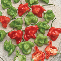 Chili Pepper Jamaican Bell